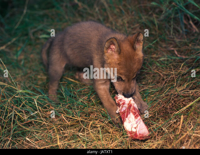 baby wolf eating stock photos baby wolf eating stock images alamy