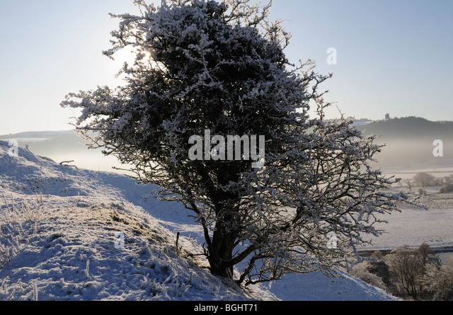 blackthorn tree - photo #37