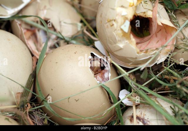 Aninimal Book: Hatching Stock Photos & Hatching Stock Images - Alamy