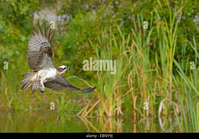 Ospreys sea hawks pandion haliaetus stock photos ospreys for Fish hawk fl