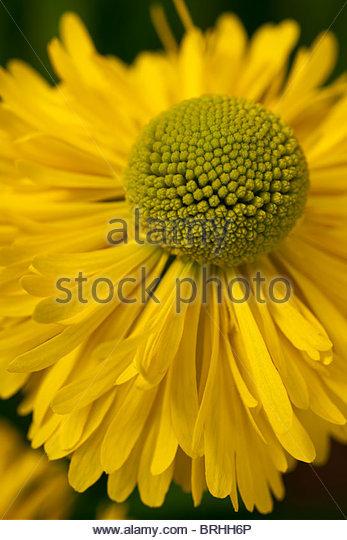 Common Sneezeweed Yellow Stock Photos Common Sneezeweed Yellow