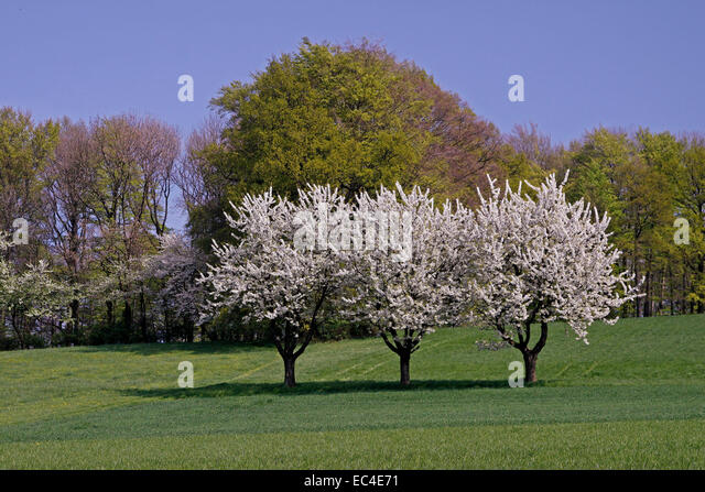 Teutoburg forests stock photos teutoburg forests stock images alamy - Romanian cherry tree varieties ...