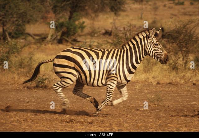 zebra running - photo #27