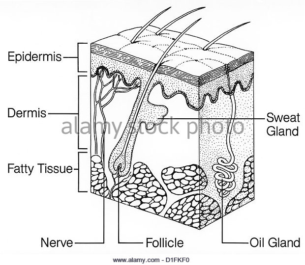sweat gland stock photos  u0026 sweat gland stock images