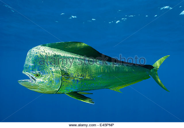 Hippurus stock photos hippurus stock images alamy for Mahi mahi fish pictures