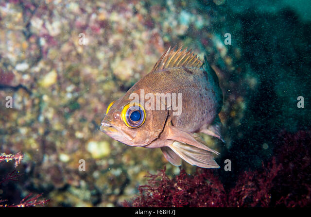 Seaperch stock photos seaperch stock images alamy for Sea perch fish