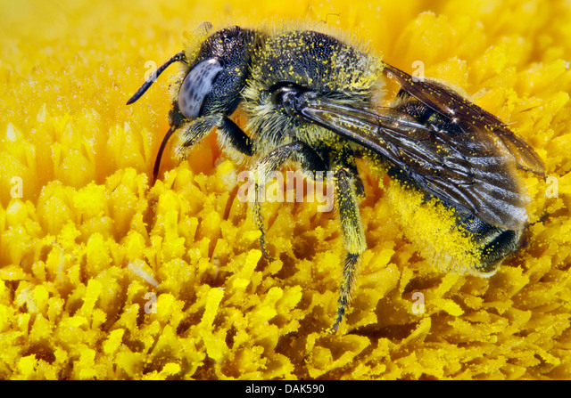 Mason Bees Leafcutter Megachilidae Bee On Telecia Flower Germany
