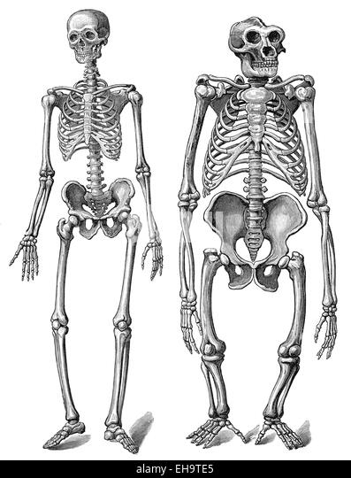 human evolution ape man stock photos & human evolution ape man, Skeleton