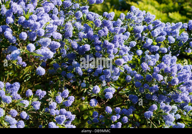 Californian lilac stock photos californian lilac stock for Blue flowering bush