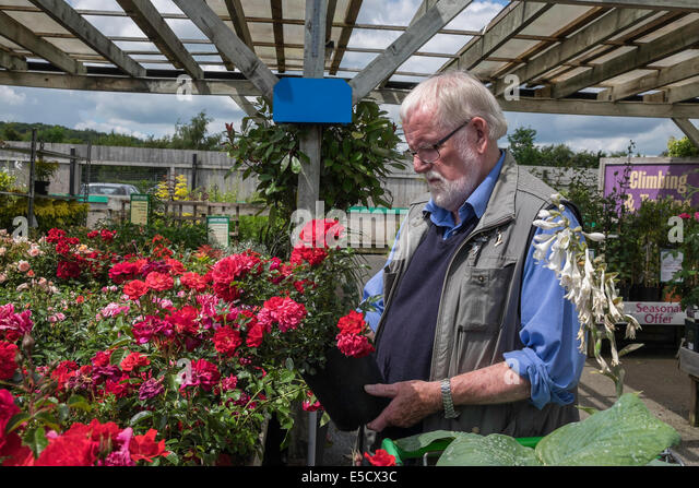 Picturesque Potted Rose Stock Photos  Potted Rose Stock Images  Alamy With Hot Older Man Selecting Potted Rose In Garden Centre On Summers Day Uk  Stock  Image With Archaic How To Stop Snails In Garden Also Perfume Garden In Addition Garden Pots Planters And Kew Gardens Weddings As Well As Water And Gardens Garden Present Additionally Bents Garden Centre Jobs From Alamycom With   Hot Potted Rose Stock Photos  Potted Rose Stock Images  Alamy With Archaic Older Man Selecting Potted Rose In Garden Centre On Summers Day Uk  Stock  Image And Picturesque How To Stop Snails In Garden Also Perfume Garden In Addition Garden Pots Planters From Alamycom