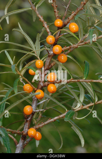 Buckthorn berry uk stock photos buckthorn berry uk stock images alamy - Growing sea buckthorn ...