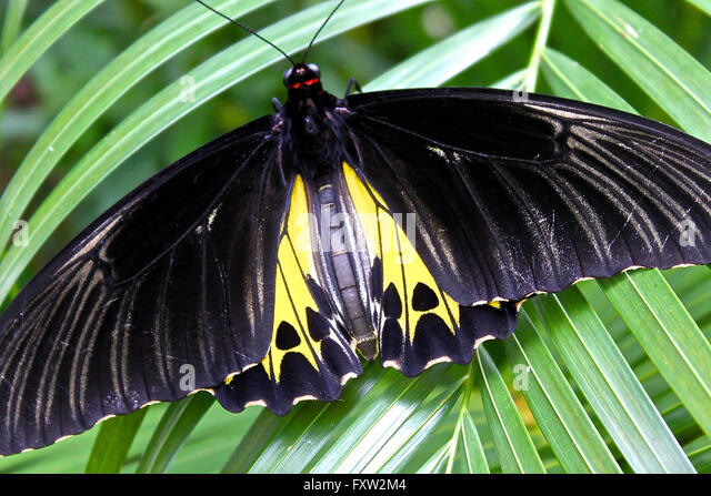 Largest Butterfly Of The World Stock Photos & Largest ...