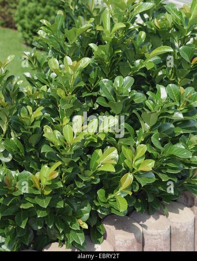 laurel hedge stock photos laurel hedge stock images alamy. Black Bedroom Furniture Sets. Home Design Ideas