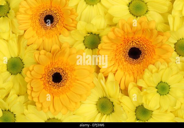 chrysanthemen stock photos chrysanthemen stock images. Black Bedroom Furniture Sets. Home Design Ideas