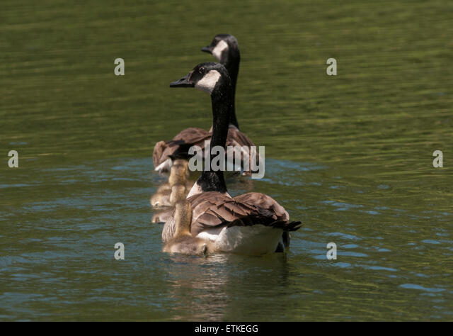 Whistling Swan Canada Goose Black Brant Male And Female