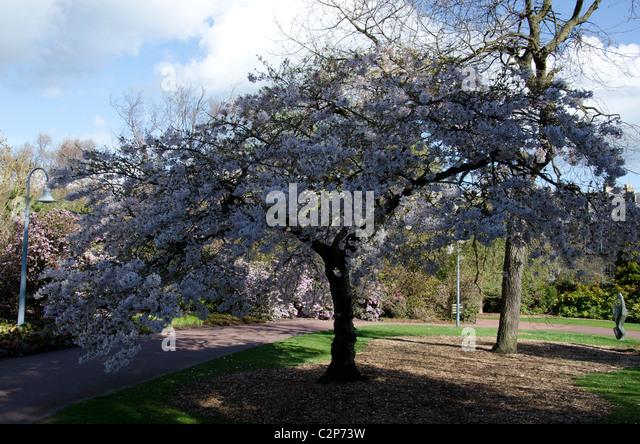 Scotland cherry blossom stock photos scotland cherry for Garden trees scotland