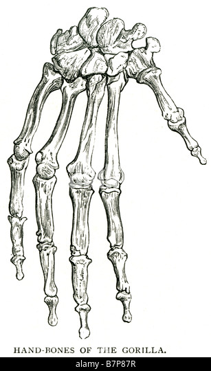 gorilla skeleton stock photos & gorilla skeleton stock images - alamy, Skeleton