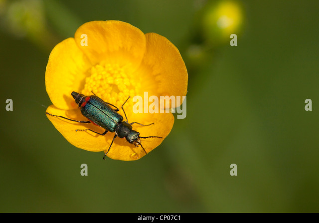 asian buttercup red flower - photo #24