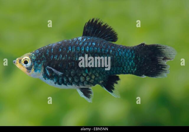 Southern platyfish stock photos southern platyfish stock for Platy fish breeding