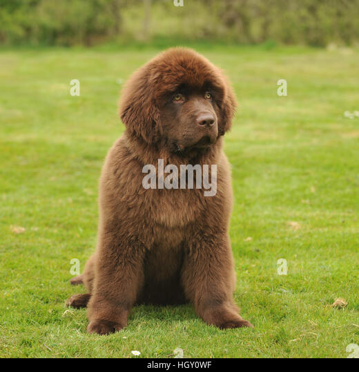 Black Newfoundland Dog With Puppy Cut