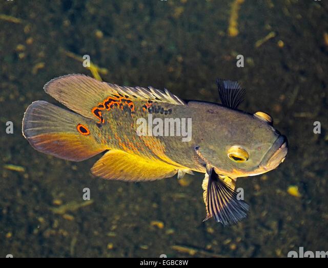 Astronotus ocellatus stock photos astronotus ocellatus for Fish native to florida