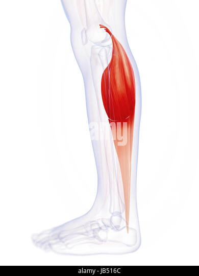 Gastrocnemius Muscle Stock Photos & Gastrocnemius Muscle Stock ...