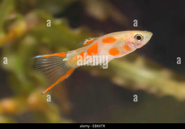 Endlers livebearer poecilia stock photos endlers for Endler guppy