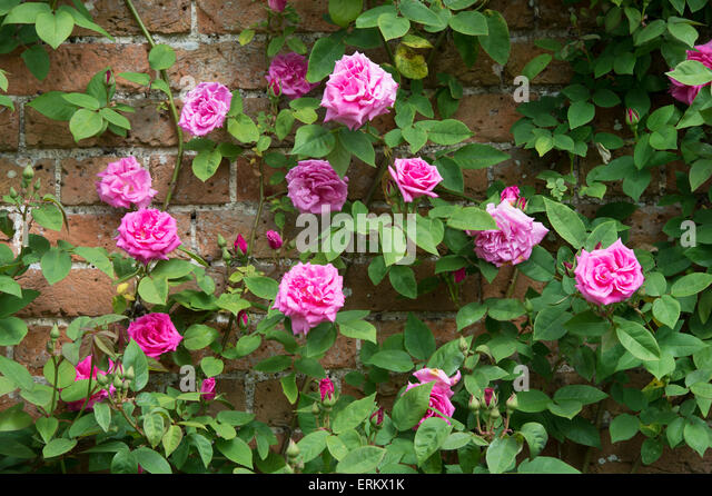 climbing rose wall stock photos climbing rose wall stock. Black Bedroom Furniture Sets. Home Design Ideas
