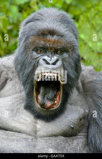 Scary Gorilla Stock Photos & Scary Gorilla Stock Images ...