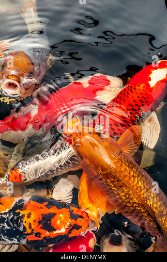 carp uk stock photos carp uk stock images alamy
