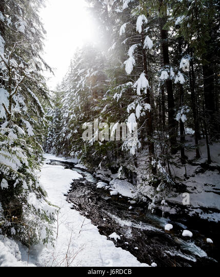 Evergreen forest river in the winter. - Stock Image
