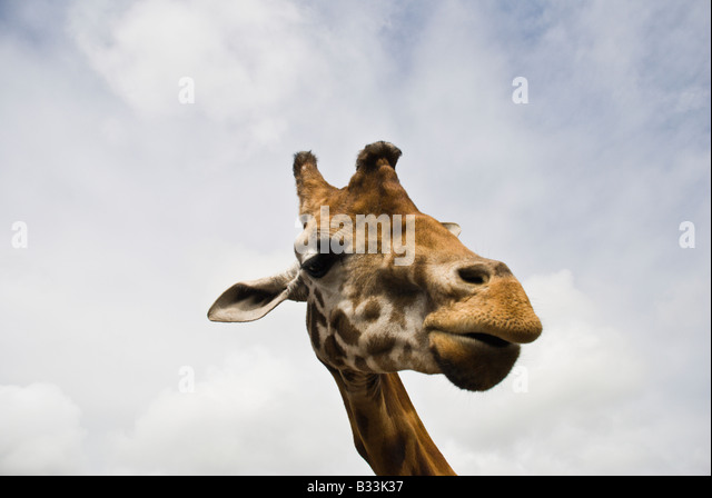 how to draw a giraffe head and neck