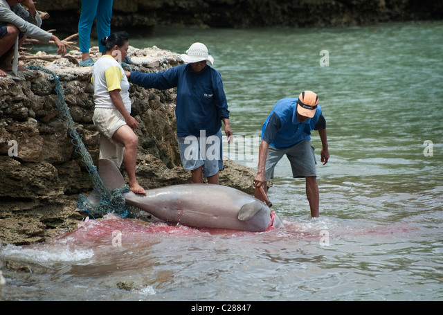dugong marine mammals in the philippine These were developed for the dugong &seagrass conservation project by the dugongs are strictly marine mammals seaweed farming poses threat to philippine dugongs.
