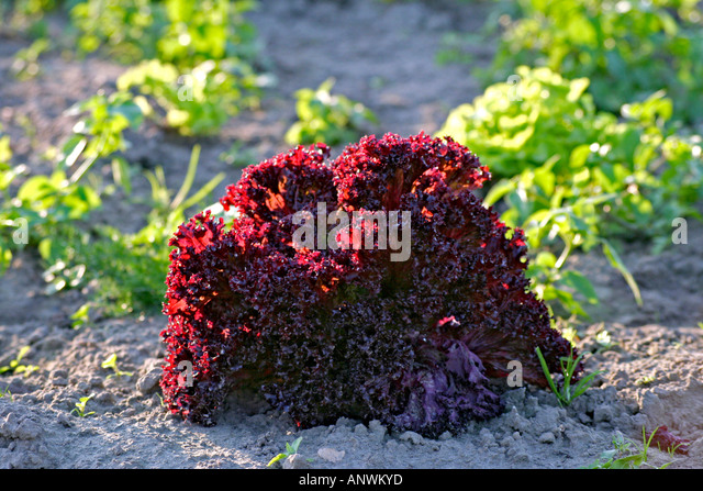 planters winter ed mix with Lollo Rosso Lettuce Growing In on 355502964306764063 further Art Room Plaster Of Paris furthermore Lollo Rosso Lettuce Growing In furthermore Fall Flower Pots as well Mosaic Vases.