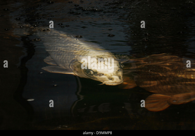 Koi carp uk stock photos koi carp uk stock images alamy for Koi carp farm