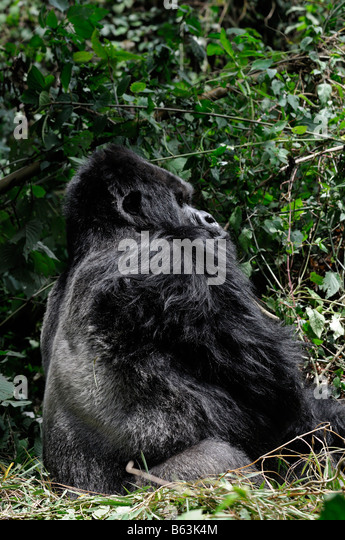 Gorilla Profile Stock Photos & Gorilla Profile Stock ...