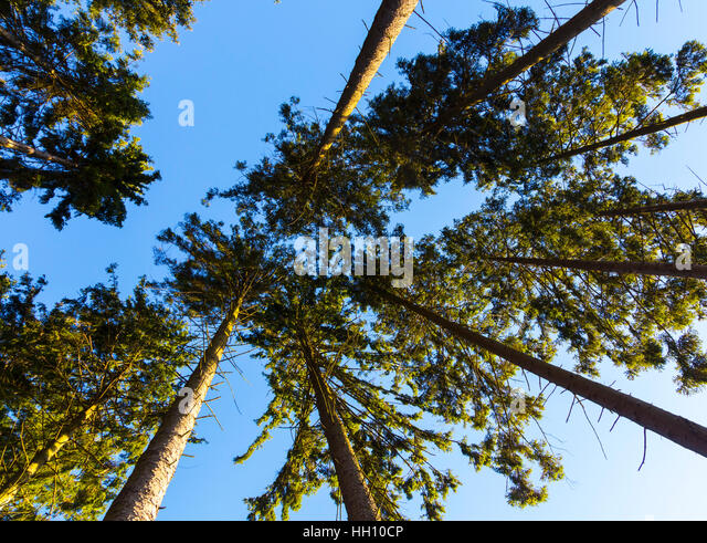 Forest canopy looking upwards - Stock Image & Tall Canopy Trees Stock Photos u0026 Tall Canopy Trees Stock Images ...