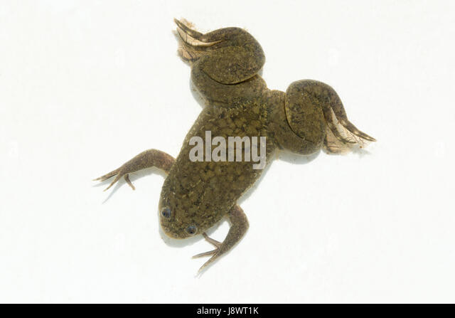 african clawed frog stock photos african clawed frog stock images rh alamy com African Clawed Frog Tadpoles Baby African Clawed Frog