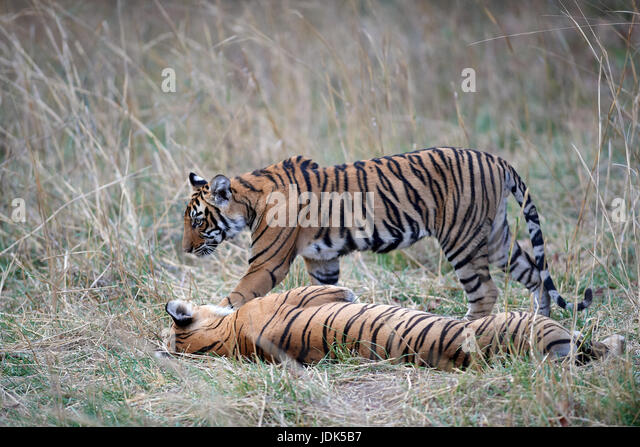 Tigress Stock Photos & Tigress Stock Images - Alamy