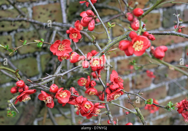 quince flowers at nonsuch park surrey england uk stock image - Quince Flower
