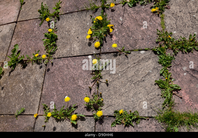 how to kill dandelions in lawn uk