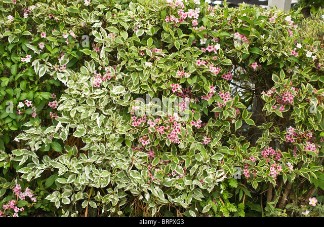 Weigela Stock Photos & Weigela - 190.7KB