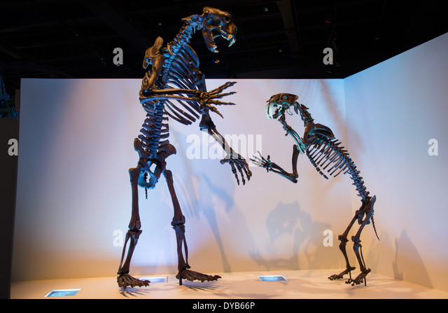 http://l7.alamy.com/zooms/eb3b8ca7ff13404899a9e0f37e05263e/fossil-skeletons-of-a-short-face-bear-and-saber-toothed-tiger-smilodon-dyb66p.jpg
