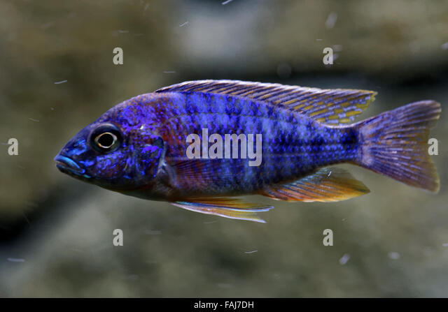 Cichlids stock photos cichlids stock images alamy for 99 5 the fish