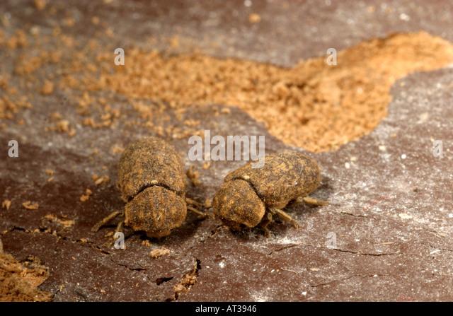 Death watch beetle larvae