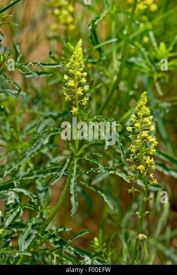 Mignonette Seed - Reseda Odorata Mignonette Flower Seeds