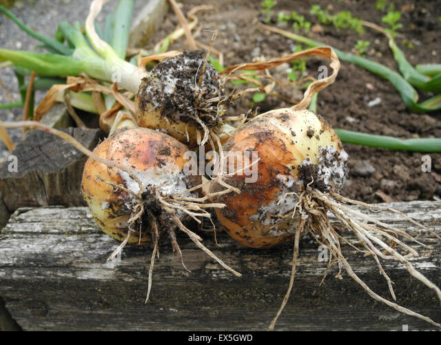 Cepivorum stock photos cepivorum stock images alamy for Soil borne diseases