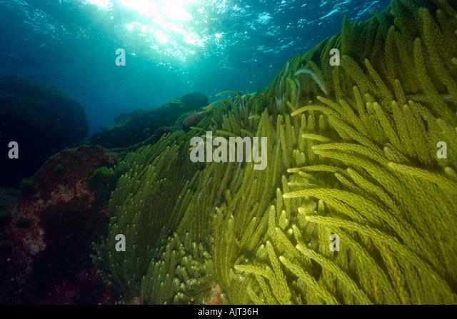 Caulerpa Racemosa Stock Photos & Caulerpa Racemosa Stock ...