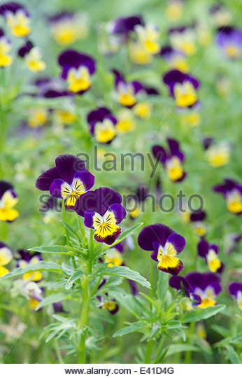 how to grow viola tricolor from seedlings