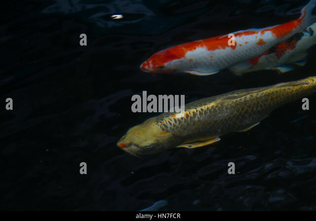 Koi fish wild stock photos koi fish wild stock images for Colorful pond fish
